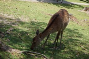 More deers in Nara Park